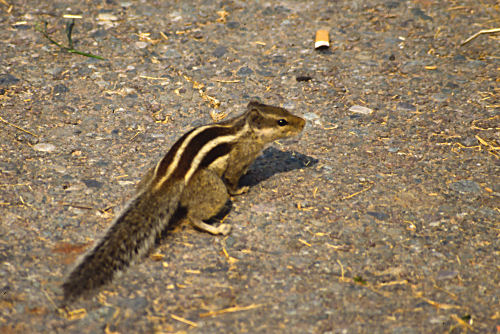 Chipmunk in Agra