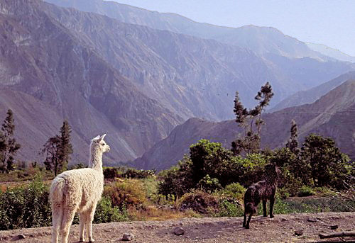 A Llama and a dog in the Colca Canyon (near Arequipa, Peru)