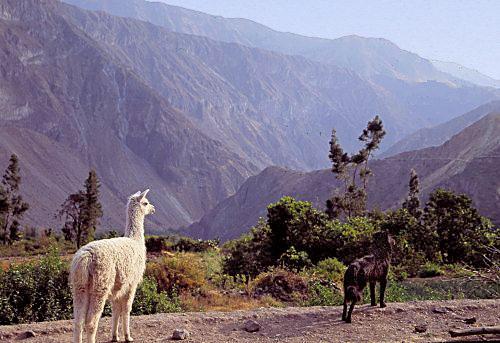 A Llama and a dog in the Colca Canyon (near Arequipa, Peru)