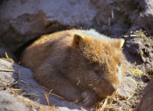 Sleeping Wombat in a private zoo near Melbourne