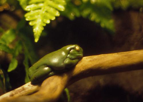 Sleeping frog in the Sydney Aquarium
