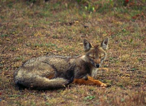 Fox, Chile