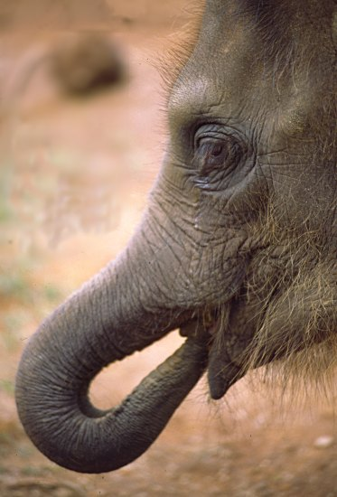 portrait of  a baby elephant