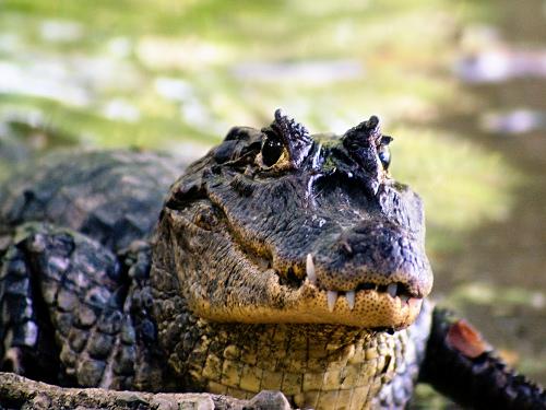 Crocodile at Tambor Beach