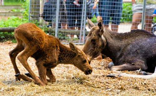 young elk at Skansen