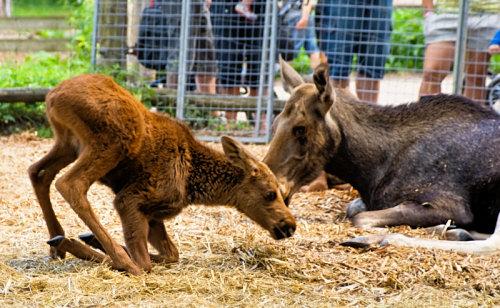 young elk at Skansen