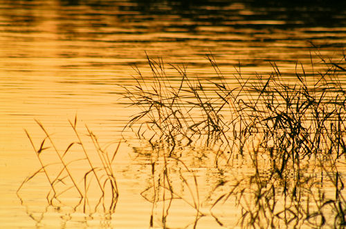 Weeds in Purivesi lake at sunset