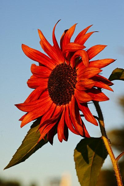 Sunflower in Nikolaiken