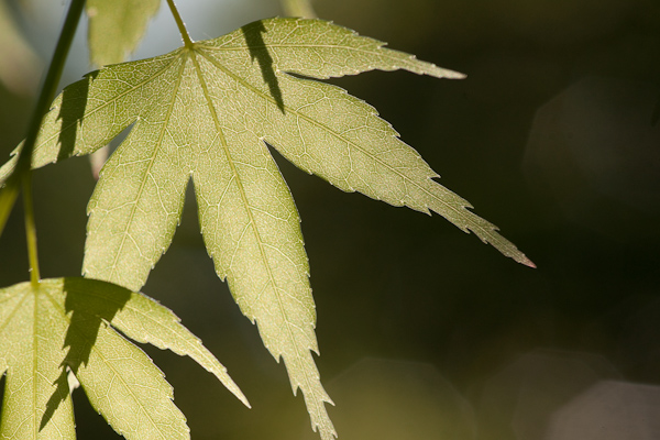 the sun shines through a young leaf in Ritsurin garden