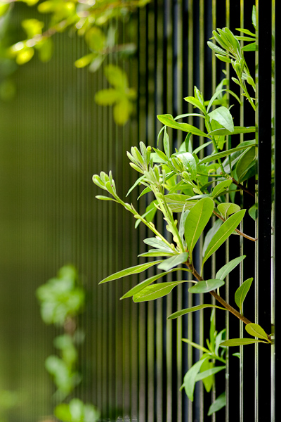 Cropped version of the leaves peeking through a fence
