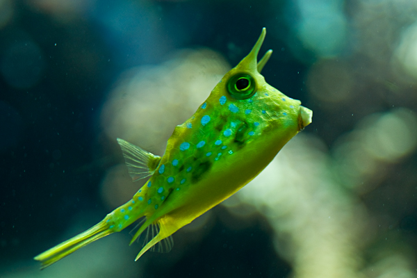 thornback cowfish in the Frankfurt aquarium