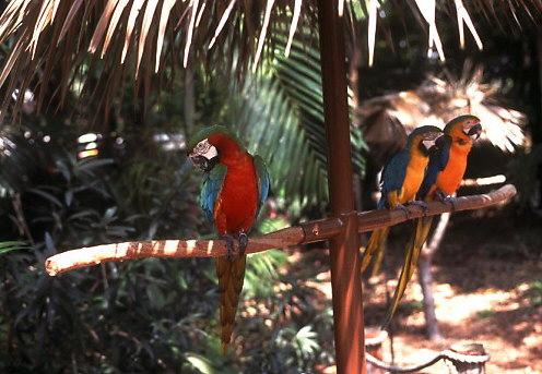 Parrots, Grand Bahama, Bahamas