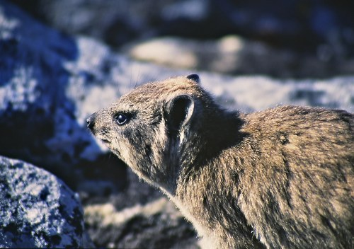 There are lots of rock dassies on Table Mountain.
