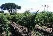vineyards, Stellenbosch.