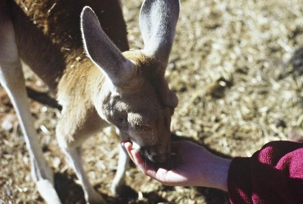 Kangaroo feeding. Photo: L. Bobke