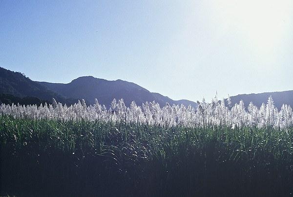 Kuranda (Near Cairns) grass. Photo: L. Bobke