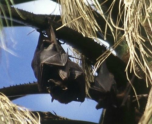Bats at Mataranka. Photo: L. Bobke