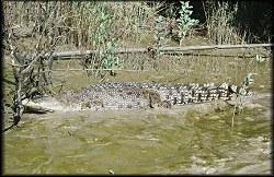 Salt water crocodile.