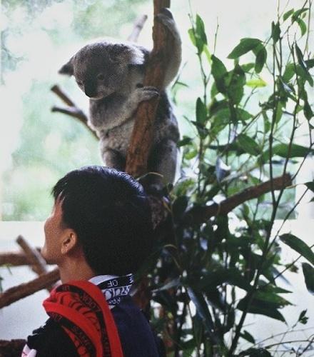 Koala at the zoo. Photo: L. Bobke