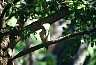 Kookaburra ('laughing jackass'). - Pictures from Australia, by Laurenz Bobke.
