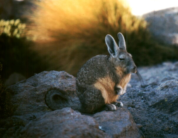 Vizcacha a relative of the chinchilla. Photo: L. Bobke.