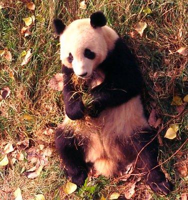 Panda, Beijing Zoo.