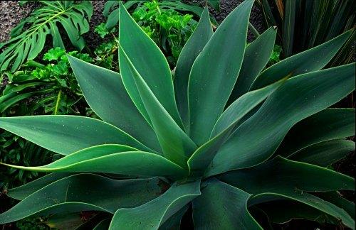 Aloe, Madeira (Portugal). Photo: Laurenz Bobke
