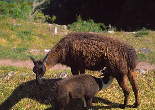 Llama mother and baby llama. Photo: L. Bobke