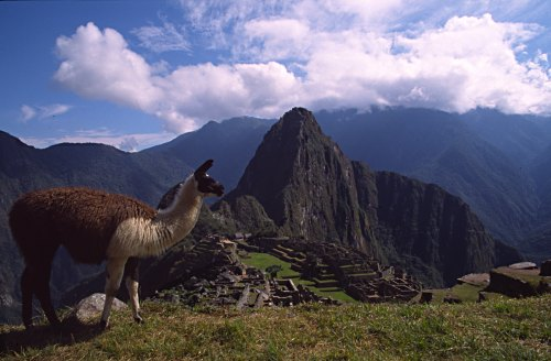 A llama on a terrace overlooking Machu Picchu. Photo: L. Bobke.