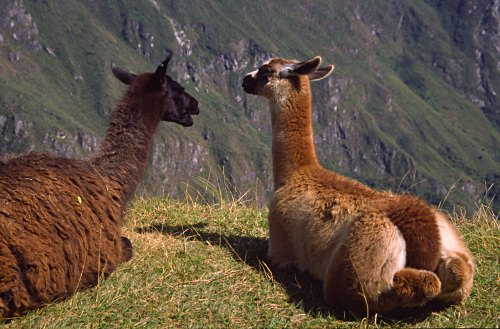 Llamas on terrace overlooking Machu Picchu